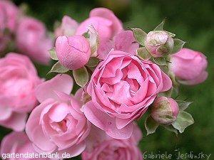 rosenpflege gesunde rosen pflanzen pilzresistente rosensorten erfahrungen rosa gesunde. Black Bedroom Furniture Sets. Home Design Ideas